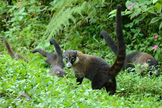ハナグマ ペルー 動物